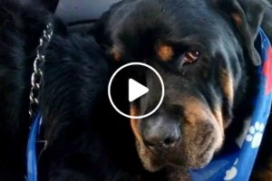 Crying Rottweiler Grieves For Dead Brother. Animals Do Have Emotions 12