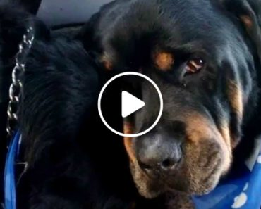 Crying Rottweiler Grieves For Dead Brother. Animals Do Have Emotions 9