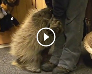 Friendly Porcupine Thinks He is a Puppy 8