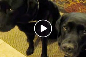 Who Stole The Cookie? Funny Dog Snitches On Sibling! 12