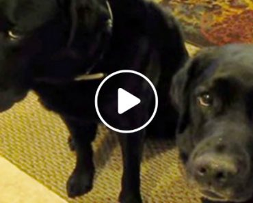 Who Stole The Cookie? Funny Dog Snitches On Sibling! 9