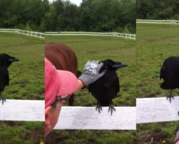 Raven Gets Attacked By a Porcupine Then Proves It's Really Smart 4