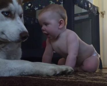 They Were Nervous As Their Baby Approached a Giant Husky... Then This Happened 1