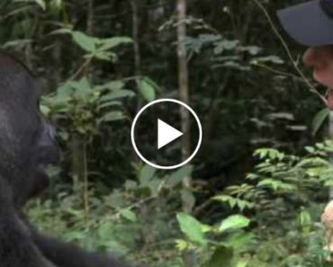 A Man Raised a Gorilla Like a Son Then Returned Him To The Wild. This Is Their Reunion 5 Years Later 8