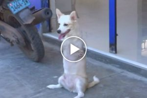 Dog With No Front Legs Gets Around By Walking Like a Human 12