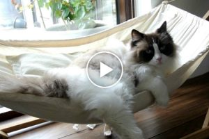 Cat Finally Masters the Hammock After Initial Struggles 12