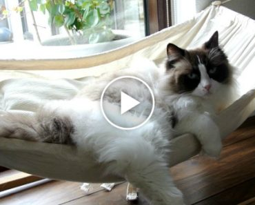 Cat Finally Masters the Hammock After Initial Struggles 4