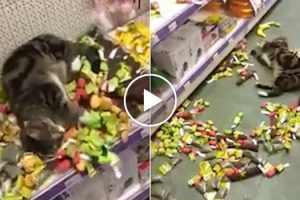 Lost Cat Rolling Around In Catnip Toys In Pet Store 12