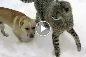Cheetah And Dog Bond Over Their Shared Love Of Playing In The Snow 12