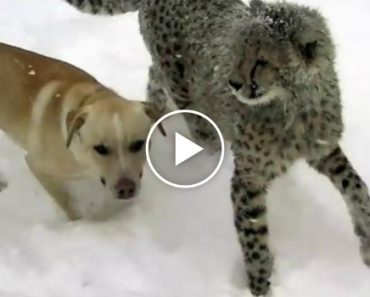Cheetah And Dog Bond Over Their Shared Love Of Playing In The Snow 2