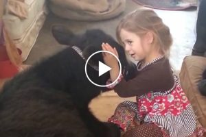 """Oops, I let the cow in"": Watch Adorable Little Girl Explain Unexpected House Guest To Her Mum 11"