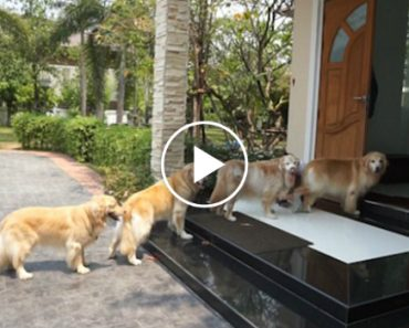 These Incredibly Well-Trained Golden Retrievers Line Up To Get Their Paws Cleaned 6