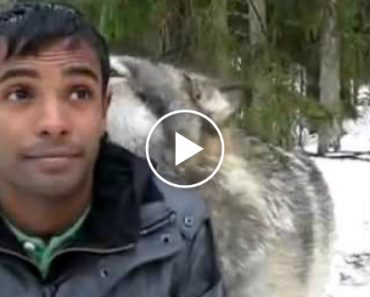 The Love Between This Three Wolves And This Man Is Adorable 8