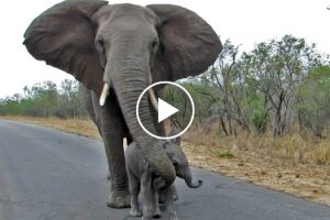 Mother Elephant Shields Her Baby From Humans 11