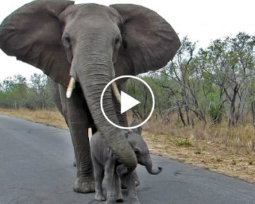Mother Elephant Shields Her Baby From Humans 4