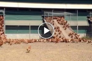 When You See What These Chickens Do Every Morning, You'll Never Look At Eggs The Same Way Again 11