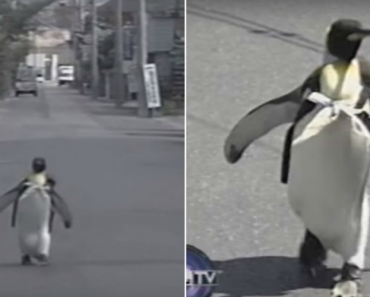In Japan, a Penguin With a Backpack Walks Alone To The Fish Market 3