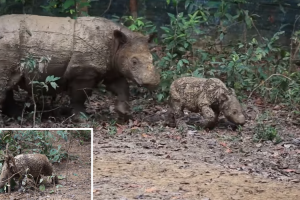 Rare Footage Of The Highly Endangered Small, Long Haired Sumatran Rhinoceros And Her Calf 10