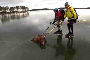 Wild Boars Were Stuck On An Icy Lake, That's When Friendly Skaters Saved The Day 9
