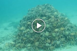 A Few Divers Ran Across a Large Pyramid Of Spider Crabs And It's Both Fascinating And Scary 12