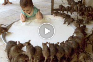 Karni Mata, The Indian Temple Where Rats Are Worshipped 12