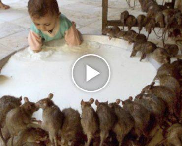 Karni Mata, The Indian Temple Where Rats Are Worshipped 9