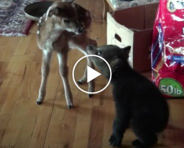 Bear Cub and Fawn Meet for the First Time 1
