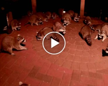 This Is How You Get Raccoons 9