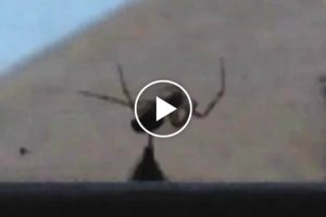Bumblebee Rescues Other Bee From Spider's Grasp 12