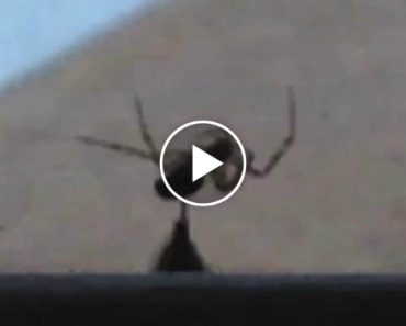 Bumblebee Rescues Other Bee From Spider's Grasp 1
