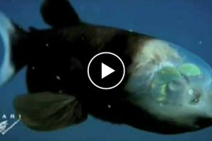 This Crazy Deep-Sea Fish Has A Completely Transparent Head 12