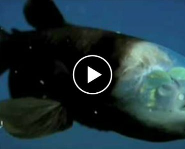 This Crazy Deep-Sea Fish Has A Completely Transparent Head 4