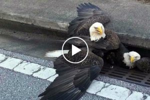 Bald Eagles Get Stuck in a Storm Drain, Perfectly Encapsulate Country's Mood 10