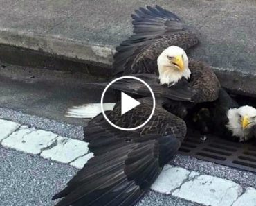 Bald Eagles Get Stuck in a Storm Drain, Perfectly Encapsulate Country's Mood 5