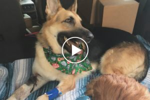 Heroic Dog Is Clinging To Life After Taking A Rattlesnake Bite For His Human Sister 11