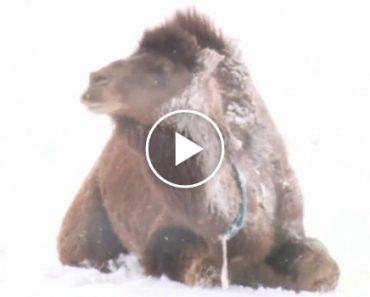 Turkish Camels Enjoying The Snow 3