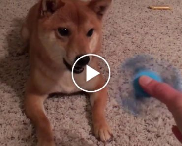 This Dog Hates Fidget Spinners Possibly More Than You Do 2