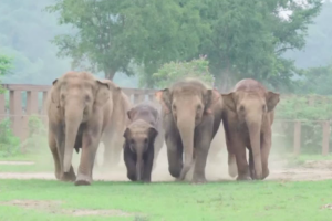Excited Herd Rushes To Meet New Baby Elephant That Was Just Rescued 10