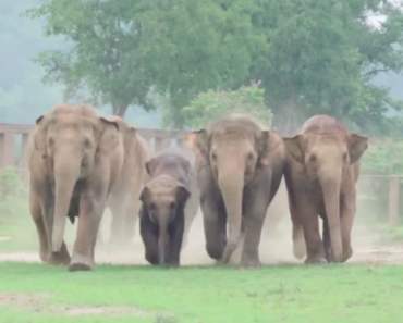 Excited Herd Rushes To Meet New Baby Elephant That Was Just Rescued 8