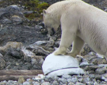 Polar Bears Get The Better Of Spy Cameras And... Smash Them 1