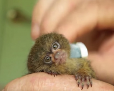 Pygmy Marmoset Loves Her Toothbrush More Than Anything 4