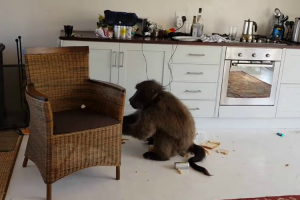 Proof That Baboons Make The Absolute Worst Airbnb Guests 11