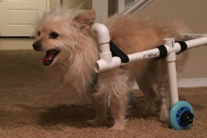 Boyfriend Of The Year Builds Makeshift Wheelchair For Girlfriend's Disabled Dog 12