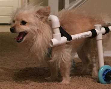 Boyfriend Of The Year Builds Makeshift Wheelchair For Girlfriend's Disabled Dog 1