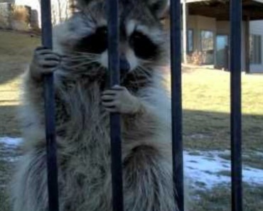 Guy Struggles To Free Stubborn Raccoon From His Yard 1