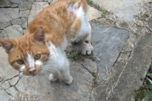 A Vocal Stray Cat With An Injured Foot Plaintively Meows For Help From a Compassionate Human 11