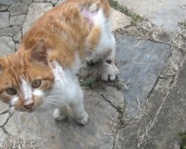 A Vocal Stray Cat With An Injured Foot Plaintively Meows For Help From a Compassionate Human 3