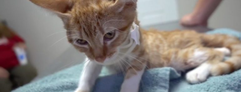 Vet Enables Paralyzed Cat To Walk Again 1