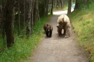 Grizzly Bear And Cubs Give Backwards-Walking Hiker a Nerve-Wracking Encounter 11