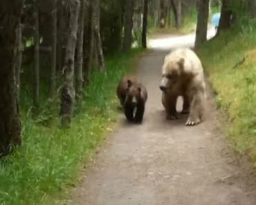 Grizzly Bear And Cubs Give Backwards-Walking Hiker a Nerve-Wracking Encounter 1